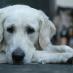 Traiter la peur de votre chien pour les bruits forts