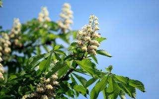 La Fleur De Bach White Chestnut Ou Marronnier Blanc