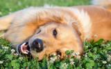 Les fleurs de Bach n° 104 L'épilepsie chez le chien
